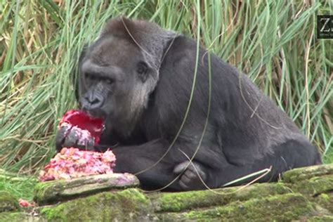 Watch gorilla at London Zoo enjoy cake baked by The Great